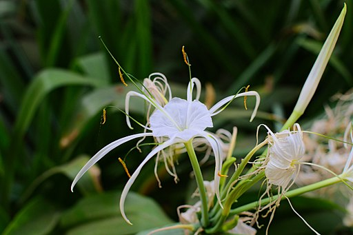 Hymenocallis littoralis in the Weyler's Square 02